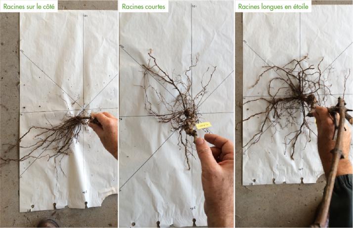 La disposition des racines lors de la plantation oriente fortement la colonisation des racines par la suite (ici, le système racinaire  des plants de quatre ans). Photos: IFV