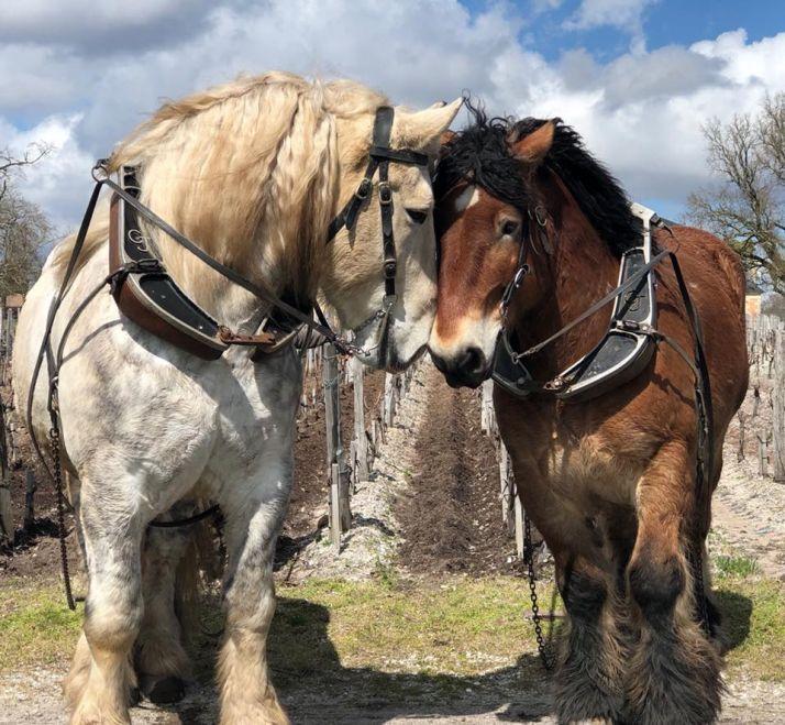 A gauche, Titan le cheval percheron du château de Rouillac (Chateau de Rouillac)