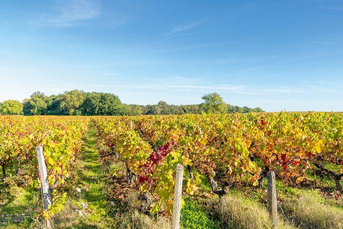 Sur vigne, malgré des teneurs en cuivre  dans les sols viticoles parfois élevées,  les cas avérés de toxicité sont peu nombreux.