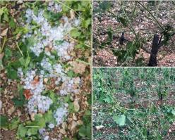 Le domaine du Pas de l'Escalette (Hérault) déplorait lundi soir des ravages dans une partie de son vignoble. Crédit photo : Domaine du Pas de l'Escalette.