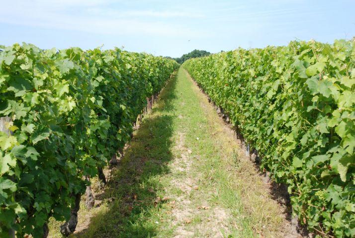 Enherbement vigne. Photo O.Lévêque/pixel6M