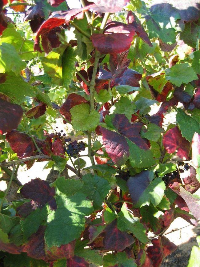 Sur cépages rouges, les symptômes sont unecoloration des feuilles en bordeaux très foncé par plage ou sur feuille entière, y compris les nervures. © Fredon