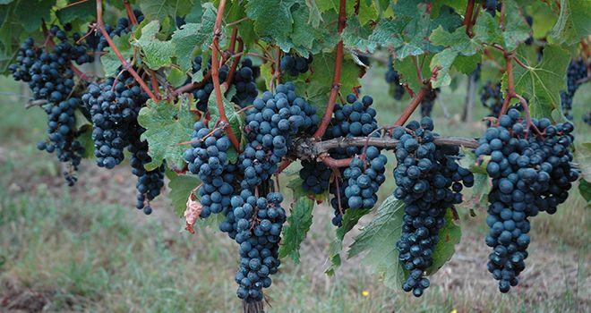 effeuillage precoce vigne