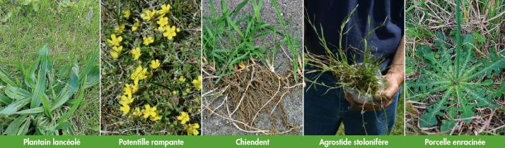 Quelques exemples d'espèces à reproduction végétatives ou en rosette, très concurrentielles pour la vigne, sélectionnées par une tonte rase et fréquente.