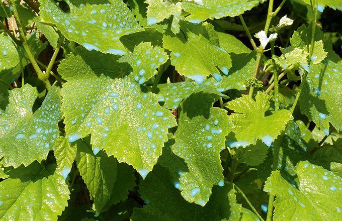 Selon les millésimes, les pratiques des viticulteurs, la teneur  en cuivre dans les moûts sera plus ou moins importante. © Licha67/fotolia