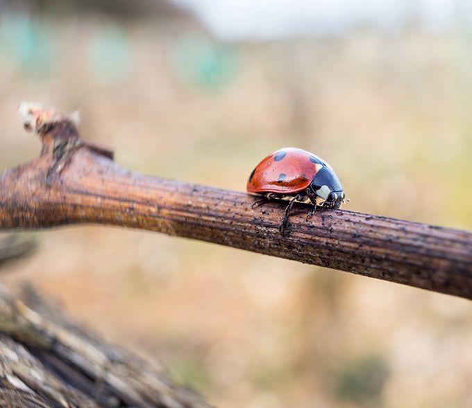 Les larves de coccinelle sont des auxiliaires efficaces contre les acariens, la cicadelle (œufs) ou les tordeuses. Photo : Eléonore H/Fotolia