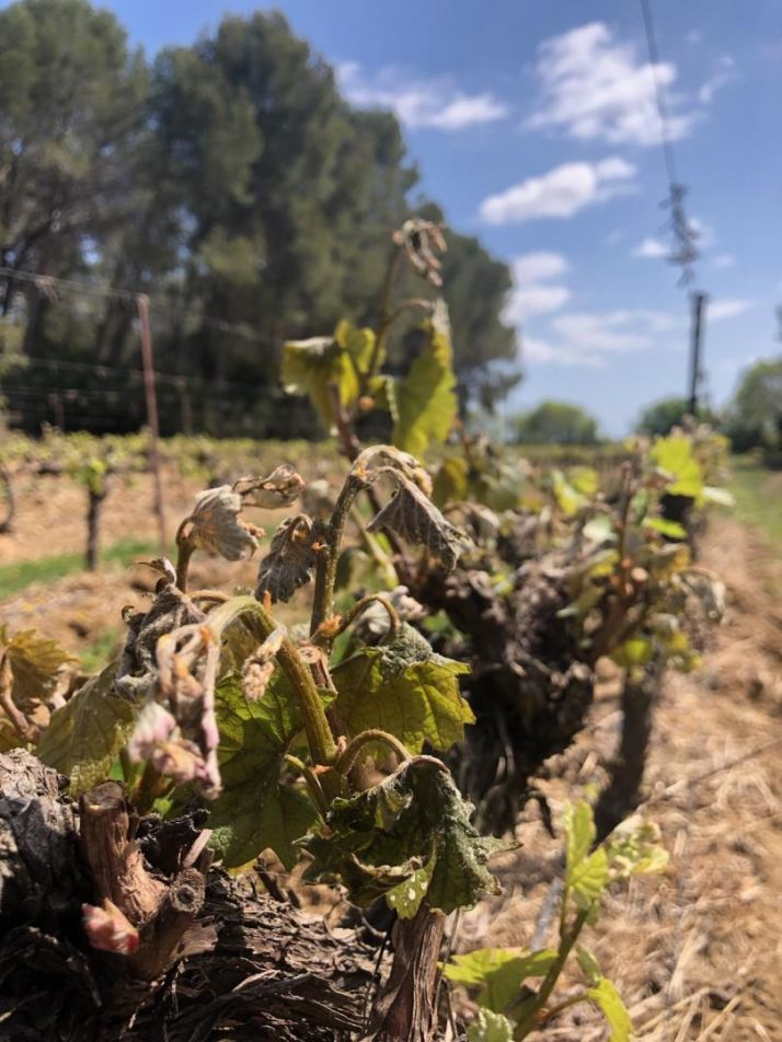 Vignes gelées dans l'Hérault (CA34)