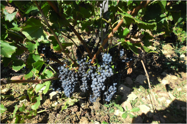 Grenache à petites baies - Photo : Olivier Jacquet