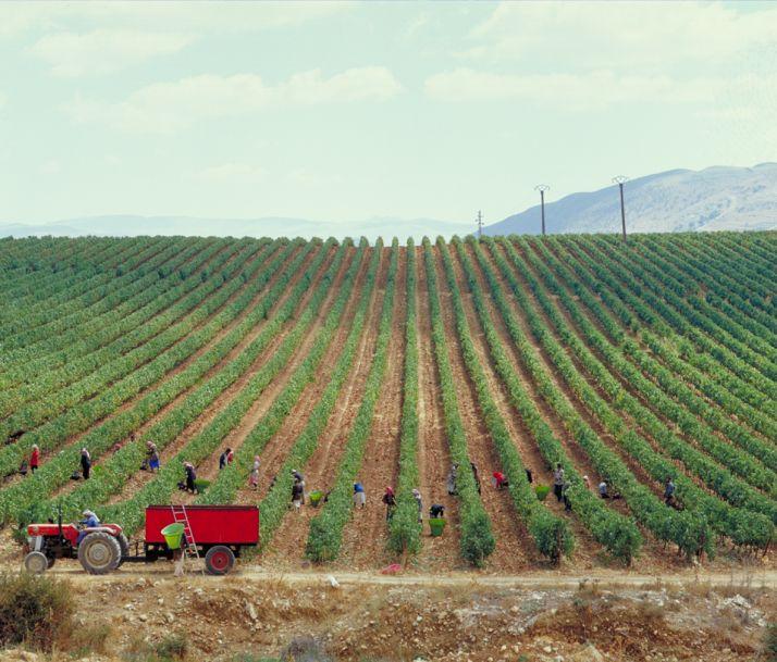 Les vignes du chateau Ksara au Liban