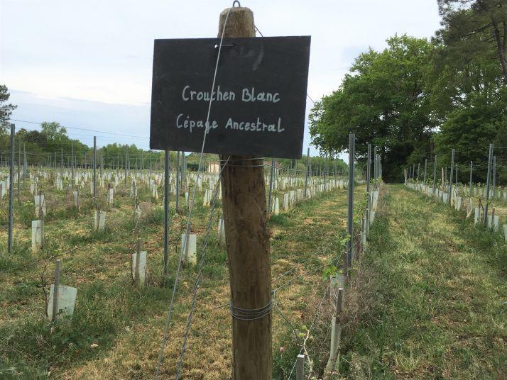 Le crouchen blanc fait partie des cépages ancestraux de la région de Cognac planté au domaine Abel Lorton (S.Favre)