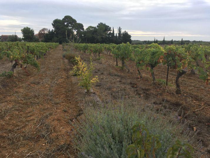 Haie implantée il y a deux ans dans une vieille vigne au domaine de la Massole (S.Favre)