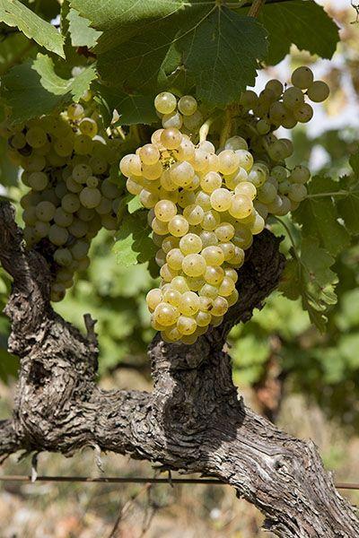 Vignerons du Sud de la France, avez-vous du grenache blanc dans vos vignes ? Non ? Et si vous en plantiez…  Où ? Et pour quoi faire ? © Copyright Christophe Grilhe pour Inter Rhône