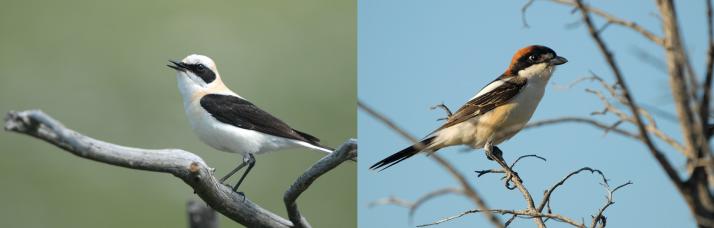 Traquet oreillard à gauche et Pie-grièche à tête rousse à droite (J. Dalmau/GOR)