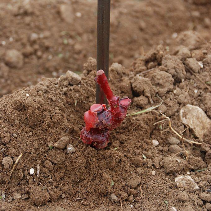 Plant de vigne greffé-soudé. Photo : S. Favre/Pixel Image
