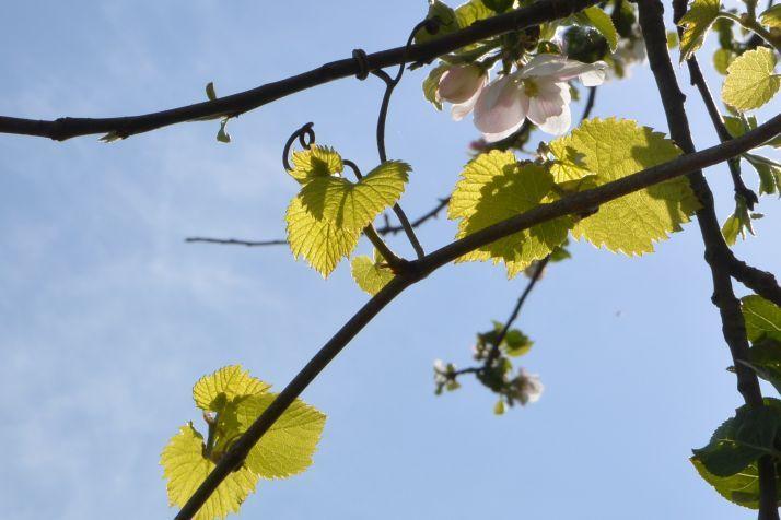 La Vigne dans le pommier - Photo : Albane B.