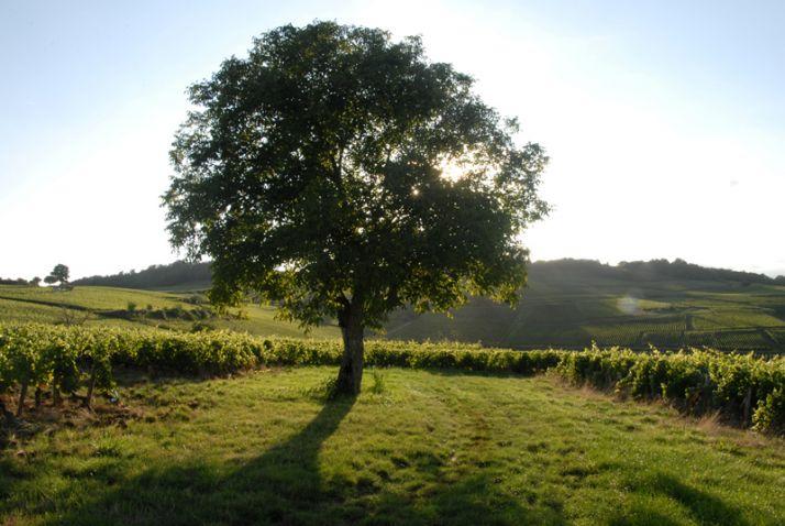 Une taille plus respectueuse de la vigne. © Vignerons de Buxy