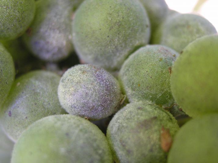 Oïdium de la vigne : le juguler pour la qualité des vins