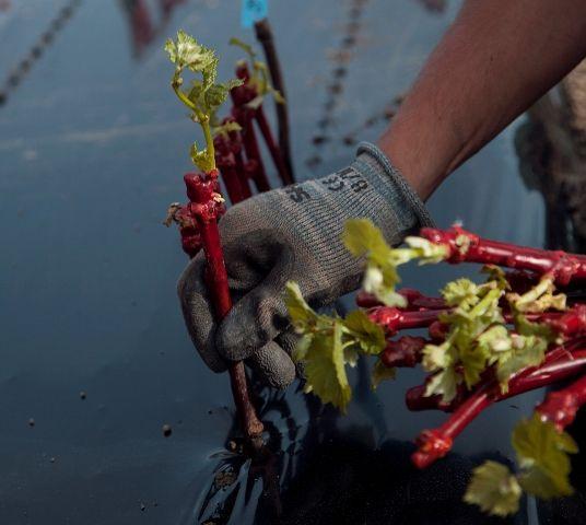 Les pépiniéristes viticoles d'Auvergne Rhône-Alpes vont investir près de 2 M€ cette année dans le cadre du plan Pépi 2020. Photo : Pépinière Fay