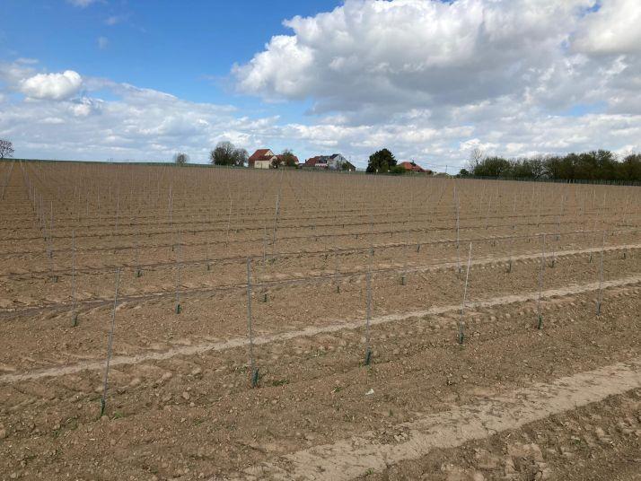 Jeune plantation de vignes au domaine du Chapitre (B.Hautier)