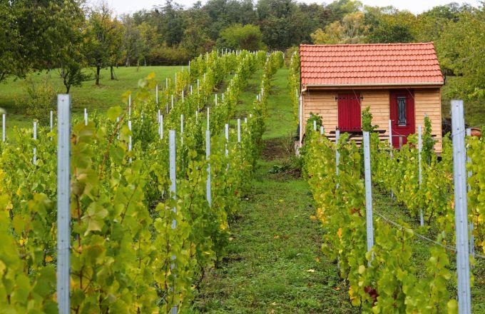 Difficile pour l'ampélographie (étude de la vigne),  de retracer les origines  de l'auxerrois.