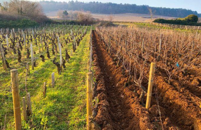Le projet Ecovitisol compare la qualité écologique de sols issus de parcelles en conventionnel, en bio et en biodynamie. Photo : Inrae