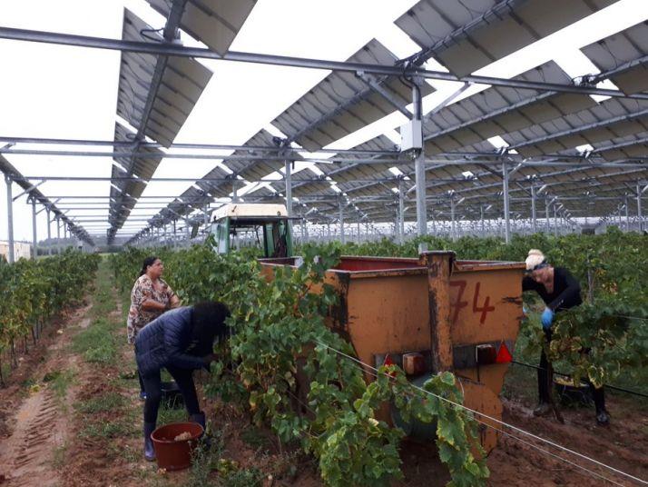 Premières vendanges agrivoltaïques à Tresserre. Photo Twitter Sun'Agri