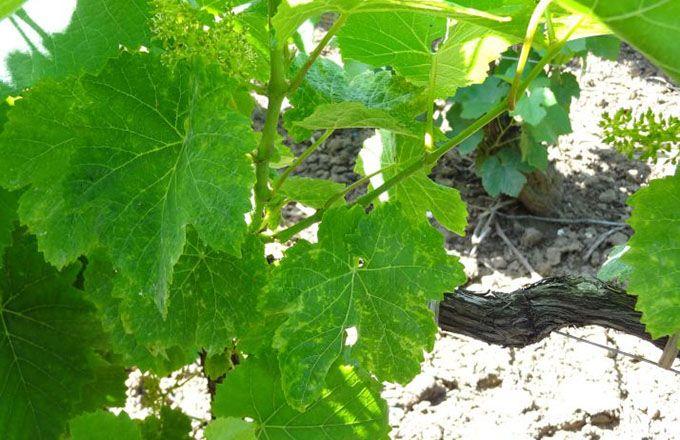 Des feuilles boursouflées et décolorées, parfois associées à des rabougrissements, sont les symptômes du GPGV. Photo:IFV