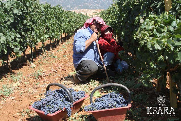 Les vendanges se finissent au chateau Ksara, Liban
