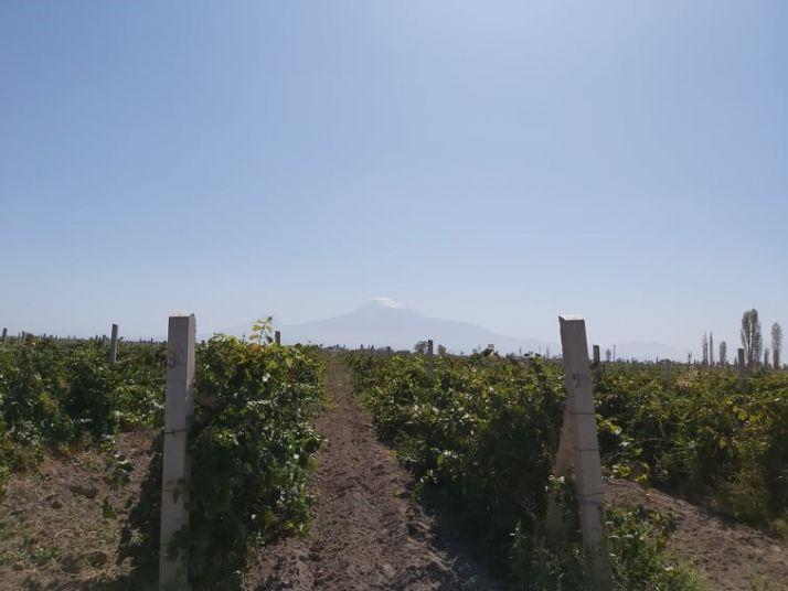 Le vignoble arménien est cultivé par des dizaines de milliers de petits vignerons
