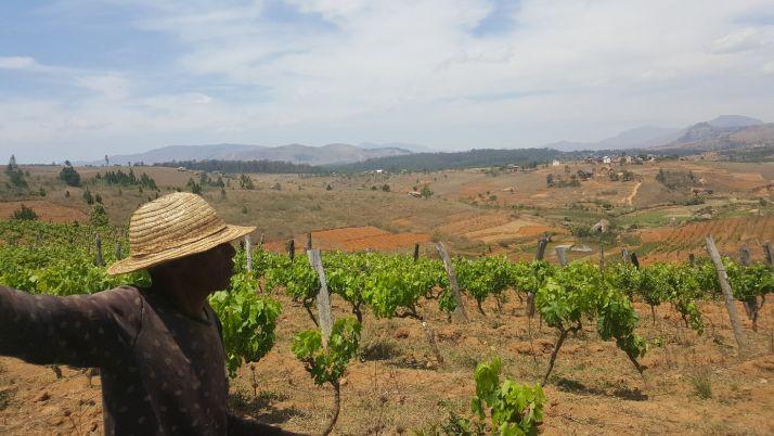 Les vignes à Madagascar sont plantées sur des sols rouges très pauvres (S.Badet)