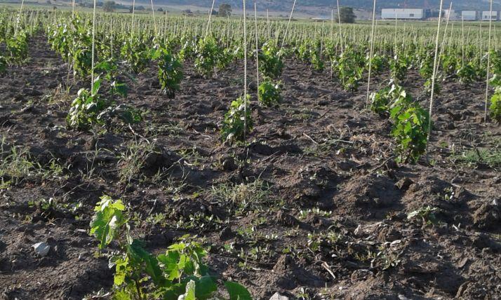 Plantation de vigne en Russie (Roby)
