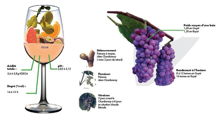 Les vins de souvignier obtenus par le domaine de Caze présentent une bonne intensité aromatique, typée agrumes. Source:  Sandrine Galy, service communication Chambre agriculture de l'Aude