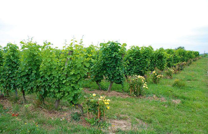 Les variétés résistantes ont permis une réduction des IFT  de 96% en 2019. Photo I. Aubert/Pixel6TM