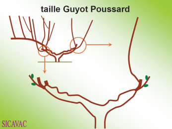 sicavac_taille_guyot_poussard.png