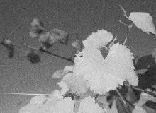 Les vaisseaux de la vigne aux rayons X. © Pixel Image