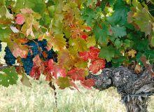 Les raisins issus de pieds atteints par l'esca présentent un retard de maturité pour une même date de vendange, avec des teneurs en sucres plus faibles (de l'ordre de -10%) et des acidités plus élevées (+20%). Photo : S. Simonin/Pixel Image