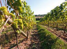 Vignes en Angleterre. © A. Domenach/Pixel Image