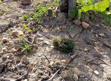 Le thym d'Angleterre  a du mal à se développer  en période de sécheresse (photo prise le 24 avril 2017 à Montreuil-Bellay (49). Photo : Laurent Dutruel