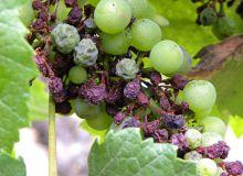Symptômes du mildiou de la vigne sur grappes (rot brun).