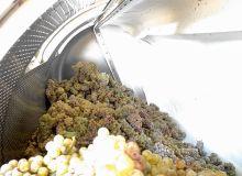 La cryosélection consiste  à presser très doucement  des raisins congelés.