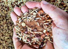 Objectif du mélange  de semences en 2020  sur les vignes: fèverole - avoine - cameline.