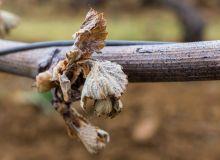 Dégâts du gel sur vigne. Photo : Eléonore H/Fotolia
