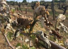 Fin mars 2020, le gel a touché les vignes du sud de la France notamment (S. Favre).