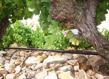 L'irrigation des parcelles a été assurée par un système d'irrigation aérien par goutte-à-goutte. Les diffuseurs, positionnés au niveau de chaque cep au niveau du sol pour le carignan, et à 30cm du sol pour le viognier. Photo : Flor Etchebarne
