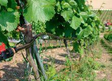 À quelques encablures du vignoble alsacien, le vignoble allemand a autorisé l'irrigation en 2001 sur toutes ses appellations. CP : DR