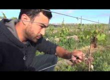Agir dans les vignes après un gel de printemps. #Vigne en formation
