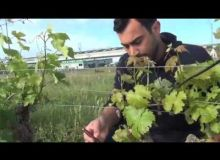 Agir dans les vignes après un gel de printemps. #Vigne en production