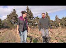 Une vigne à ma taille #3 : comment tailler une vigne qui a subi de la sécheresse?