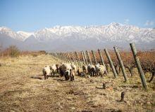 Troupeau de moutons dans les vignes de la Piedra Negra
