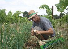 Pierre-Yves Petit a commencé en 2019 des essais pour associer vignes et légumes. Les oignons ont été implantés dans le rang dans l'entre-roue du tracteur sur environ 50 à 60 cm de large. Photo : Pierre-Yves Petit